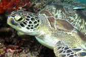 Green Turtle with DSM Dive